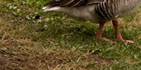 6_canadian_and_greylag_geese_thumb