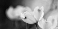 20090418_dogwood-blooms_thumb