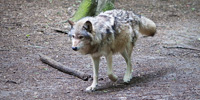 This photograph depicts a white timber wolf walking beneath a bright green canopy of leaves.
