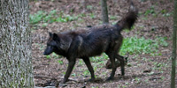 A dark timber wolf is shown trotting behind the trunks of some trees on its way to meet the rest of the wolf pack.