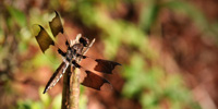 A female Widow Skimmer dragonfly atop a twig.
