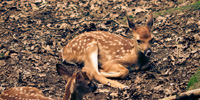 Two fawns sit camouflaged amid fallen leaves in early Summer.