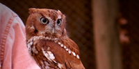 Yoda the Screech Owl